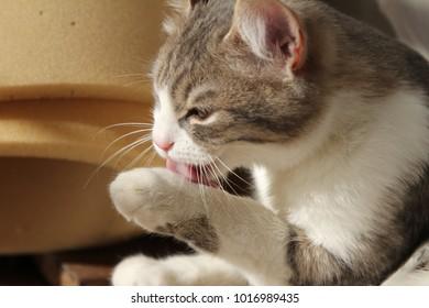 Cute gray white kitten licking wool