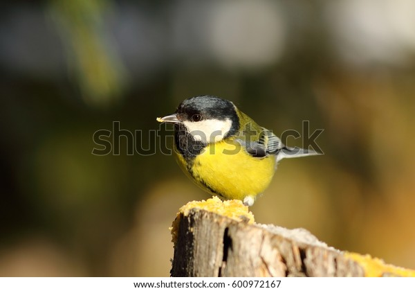 cute great tit sitting on wooden stump, hungry garden bird at feeder ( Parus major )