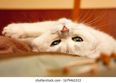 Cute green cat eyes, pink nose, fluffy mustache, muzzle white cat close-up