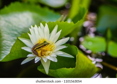A cute green frog on the lotus flower in the pond. Guangdong frog (Hylarana macrodactyla), also known as three-striped grass frog and the marbled slender frog.