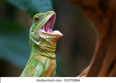 Cute green lizard open mouth action (Chinese water dragon)