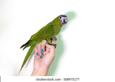 Cute green macaw bird on finger female, copy space with cement wall background.