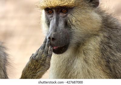 Cute green monkey in his natural habitat of wildlife. Portrait of animal monkey.