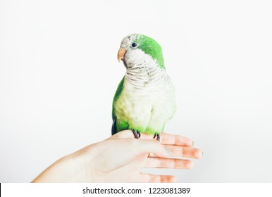 Cute green parrot sits on owners hand. White background. Woman holds Quaker parakeet.