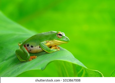 Cute green tree frog