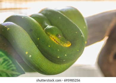 Cute green tree python (Morelia viridis), a species of python native to New Guinea, islands in Indonesia, and Cape York Peninsula in Australia.