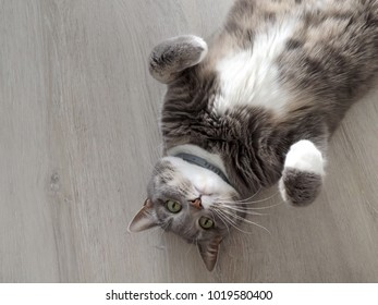 cute grey cat lying on the floor with your feet raised