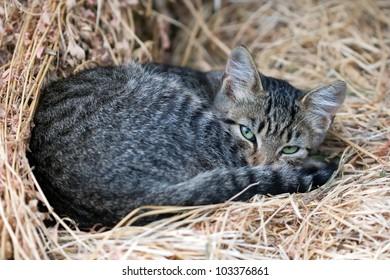 cute grey cat in the straw