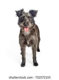 Cute grey color mixed breed terrier dog with shaggy fur