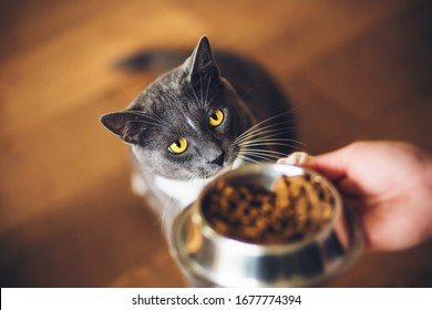 A cute grey domestic hungry cat with yellow eyes ask for dry food, which is in a bowl in the person's hand. Feeding a pet.