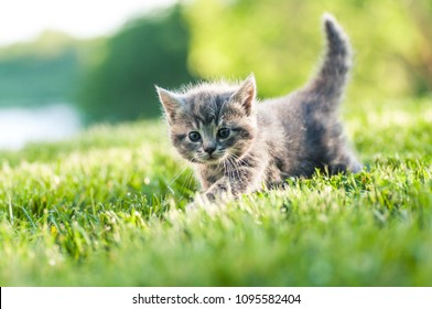 Cute grey fluffy kitten outdoors in the green grass