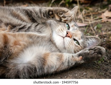 Cute grey and ginger tortoiseshell tabby cat rolling on the dirt with paws up and looking at camera asking for a belly rub
