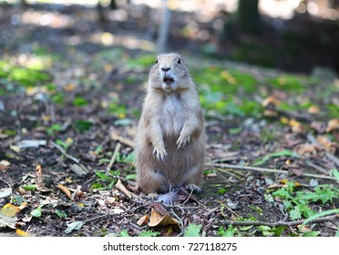 Cute grey gopher stays in forest