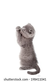 Cute grey kitten asking, isolated