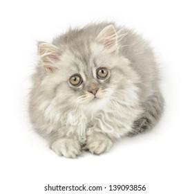 cute grey kitten of longhair breed, over white background