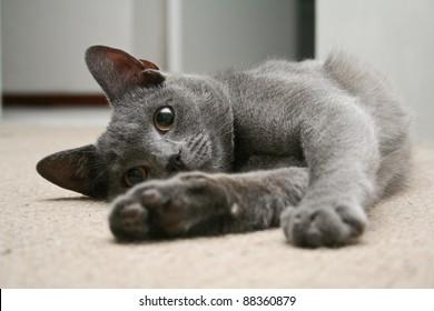 Cute grey kitten lying on it's side