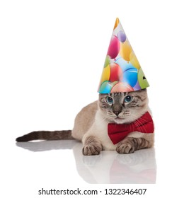 cute grey metis cat wearing red bowtie and birthday hat resting on white background looks to side