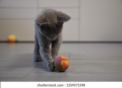 cute grey puppy blue russian cat with green and blue eyes and big ears on grey floor and white and grey backgroung playing with big orange yellow and green bouncy ball