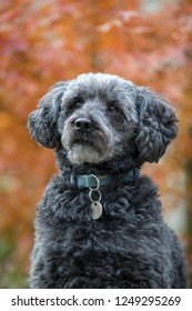 cute grey schnoodle in autumn park