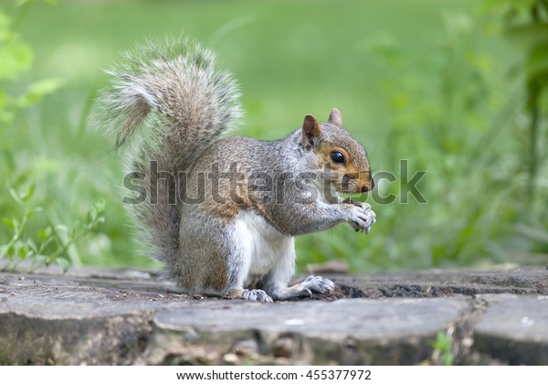 Cute grey squirrel eating in the park