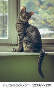 Cute grey tabby European cat sitting on the wooden window sill indoor.