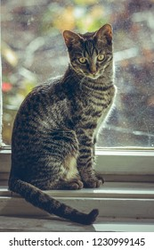 Cute grey tabby European cat sitting on the wooden window sill indoor.