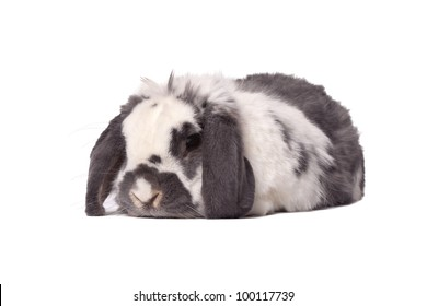 Cute Grey and White Lop Eared Bunny Rabbit Lying Down Resting On White Background