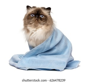 Cute groomed persian seal colourpoint cat after bath is sitting wrapped in a blue towel - isolated on white background