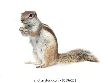cute ground squirrel nibbling a nut