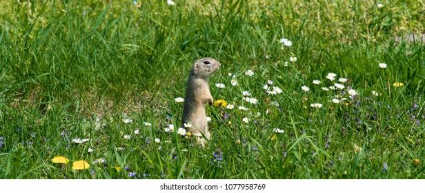 Cute ground squirrel on fresh flower meadow