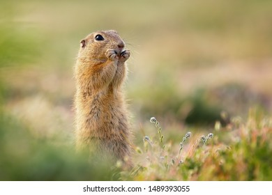 Cute ground squirrel standing and eating. Lovely meadow scene, soft and warm light. Very lovely animal, cute and curious also very fast when they need to. Fun to watch.