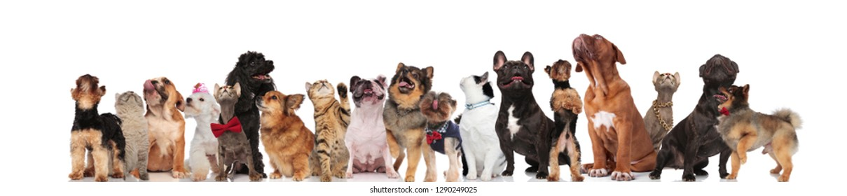 cute group of mixed pets on white background looking up while standing and sitting. They are wearing bowties, clothes and colorful collars