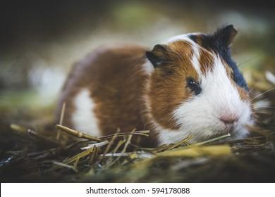 Cute guinea pig (cavia porcellus)