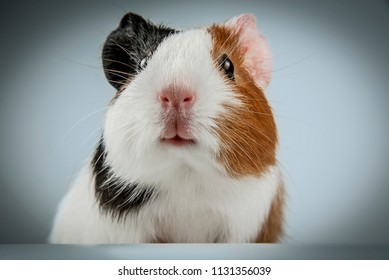 cute guinea pig close up - animal portrait