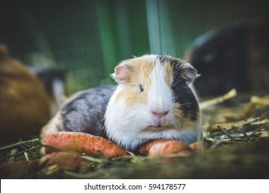 Cute guinea pig eating a carrot (cavia porcellus)
