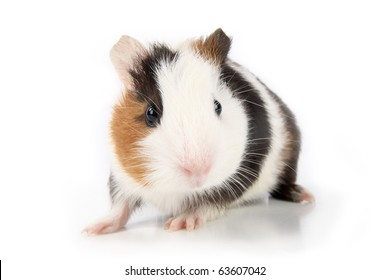 a cute guinea pig in front of white background