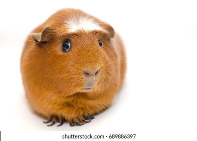 Cute guinea pig with a funny expression isolated on white (shallow DOF, selective focus on the guinea pig nose), with copy space on the right