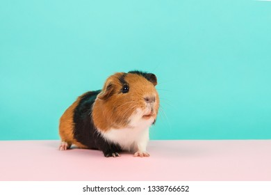 Cute guinea pig on a blue and pink background