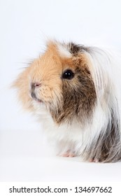 Cute guinea pig on a white background