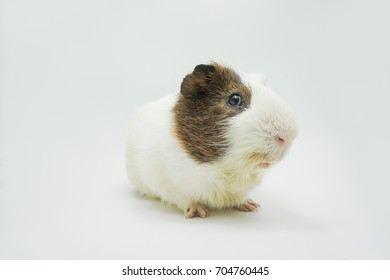 Cute guinea pig on white background.  A popular household pet