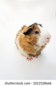 Cute guinea pig. A popular household pet.