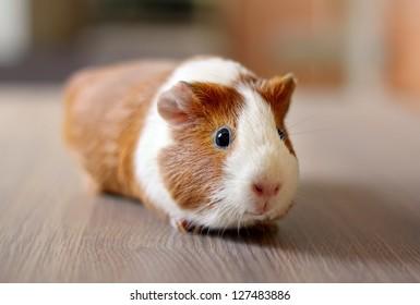 Cute Guinea pig, a popular household pet