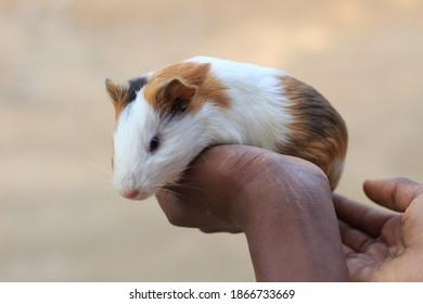 cute guinea pig potrait of cute little guinea pig wildlife photography cute animal wallapaper hd