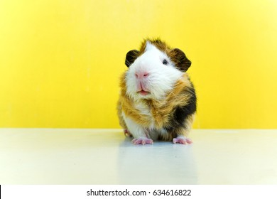 Cute guinea pig and yellow wall background.  A popular household