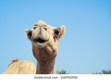 A cute hairy smiley mouth camel with innocent eyes looking standing over sky background, Bahrain.