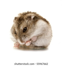 cute hamster cleans himself isolated on white