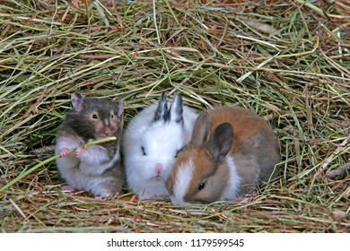 Cute Hamster nibbling on straw and Baby Rabbits sitting together in hay.
