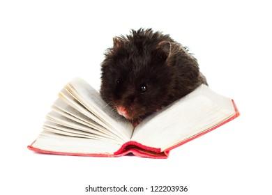 cute hamster pet reading a book