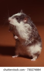 Cute hamster is standing on his feet