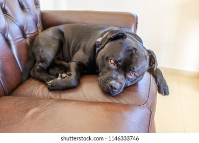 cute, handsome black Staffordshire bull terrier dog resting curled up on a brown leather vintage style sofa